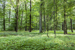 Scenic oak forest Stock Images