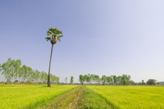 Scenic paddy field. Sugar palm trees in the field Royalty Free Stock Images