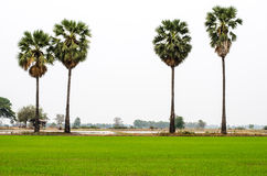 Scenic paddy field. In thailand Royalty Free Stock Photos