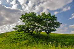 Single tree on a green hill Stock Image