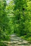 Path through dense forest with green oak trees Royalty Free Stock Image