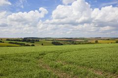 Scenic pea field on a cloudy summer day. A scenic pea field with a patchwork agricultural landscape under a blue summer sky with fluffy white clouds in the Stock Images