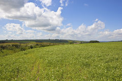 Scenic pea fields. A scenic english pea field surrounded by rolling hills in the yorkshire wolds under a blue cloudy sky in summer Stock Photo