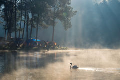 Scenic pine forest sunlight shine with swan on fog reservoir in Royalty Free Stock Images