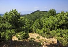 Scenic pine trees in mountains. Royalty Free Stock Images