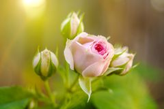 A scenic pink rose bud, that is closed now and did not open yet. Selective focus.  royalty free stock images
