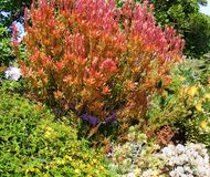 SCENIC RED AND ORANGE BUSH IN GREEN GARDEN Royalty Free Stock Image