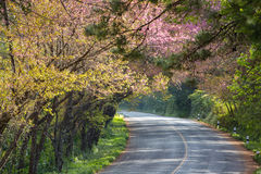 Scenic road with cheery blossom. Scenic road on top of the mountain with beautiful cheery blossom along side in winter, Doi Ang Khang, Chiang Mai, Thailand Stock Images