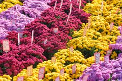 Scenic rows of bright chrysanthemums at Jogyesa Temple in Seoul royalty free stock image