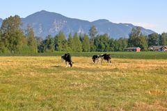 Scenic Rural Grazing Land and Livestock. A scenic view of livestock, pasture land and rolling mountains framed by a woodlands in the early summer morning stock photography