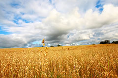 Scenic rural landscape with fields of wheat Stock Images