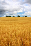 Scenic rural landscape with fields of wheat Stock Image