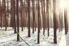 Winter forest. Scenic snow-covered forest in winter season. Good for Christmas background Stock Photos