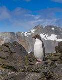 Scenic snowy scene with mountains and macaroni penguin Royalty Free Stock Images