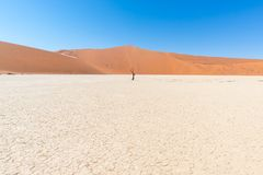 The scenic Sossusvlei and Deadvlei, clay and salt pan with braided Acacia trees surrounded by majestic sand dunes. Namib Naukluft. National Park, travel stock photography