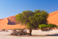 The scenic Sossusvlei and Deadvlei, clay and salt pan with braided Acacia trees surrounded by majestic sand dunes. Namib Naukluft Royalty Free Stock Photos