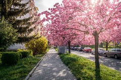 Scenic Springtime View of a City road Lined by Beautiful Sakura Trees in Blossom Stock Photography