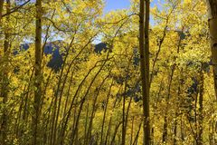 Scenic Stand of Aspens royalty free stock photo
