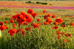 Scenic summer colorful field of poppies royalty free stock image