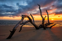 Scenic sunrise, Folly Beach, Charleston South Carolina. Morris Island Lighthouse can be seen through the driftwood. Sunrise along the South Carolina Coast at Stock Images