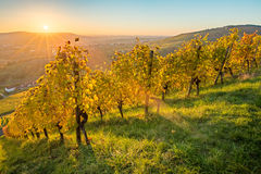 Scenic sunset in autumn in a vineyard Stock Photos