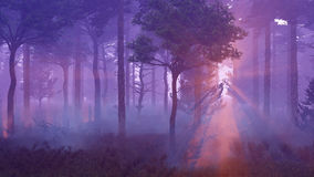 Scenic sunset in misty pine forest Royalty Free Stock Images