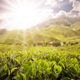 Scenic of tea farm Royalty Free Stock Image