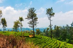 Scenic tea plantation in Sri Lanka highlands. Scenic tea plantation landscape in Sri Lanka highlands tropical natural nuwara eliya rural field countryside asian stock photo