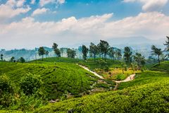 Scenic tea plantation in Sri Lanka highlands. Scenic tea plantation landscape in Sri Lanka highlands tropical natural nuwara eliya rural field countryside asian stock images