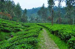 Scenic tea plantation walkway at Puncak Royalty Free Stock Photography