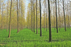 Scenic tree plantation farms in North india stock image