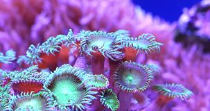Corals in underwater tropical sea. Scenic ultra HD 4K video with macro view of color corals in underwater tropical sea stock video footage