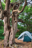 Scenic vertical landscape of camping tent in forest at summer with weird juniper tree trunk on foreground Royalty Free Stock Photo