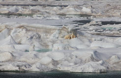 View of arctic ice floe with polar mother bear and. Scenic view of arctic ice floe with polar mother bear and two cubs Stock Images