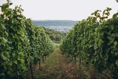 Scenic view of arranged green grapes plantations,. Stuttgart, germany royalty free stock photography