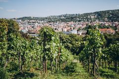 Scenic view of arranged green grapes plantations,. Stuttgart, germany royalty free stock image