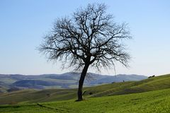 Scenic view of bare tree on green hills in Tuscan countryside royalty free stock image