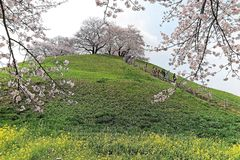 Scenic view of beautiful cherry blossom trees on a hilltop of green grassy meadows under blue sunny sky in Saitama, Japan. ~ Spring scenery of idyllic Japanese Royalty Free Stock Images