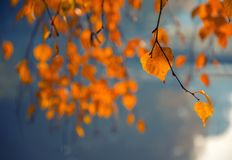 Scenic view of birch branch with yellow leaves Stock Images