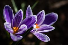 Scenic view of blooming spring crocuses growing on flower bed. Purple crocus blossom stock image