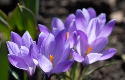 Scenic view of blooming spring crocuses growing on flower bed. Purple crocus blossom stock photo