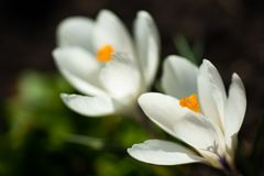 Scenic view of blooming spring crocuses growing on flower bed. White crocus blossom stock photos