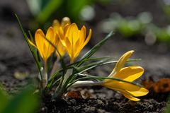 Scenic view of blooming spring crocuses growing on flower bed. Yellow crocus blossom stock image