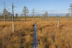 Scenic View Of Bog Hiking Trail And Pine Trees, Estonian Nature Stock Image