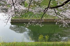 Scenic view of cherry blossoms sakura trees by the grassy riverbank and beautiful reflections on the canal stock images
