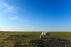 Scenic view cows near wadden sea noordpolderzijl Royalty Free Stock Photo