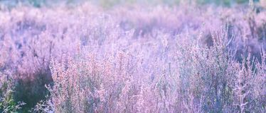 Scenic view of a erica heather landscape without sky but sunlight. Scenic view of a part of a heather landscape with sunlight shining through the plants in the Royalty Free Stock Images