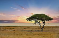 Acacia Tree in the middle of the Etosha Pan, with a sunset background Royalty Free Stock Photography