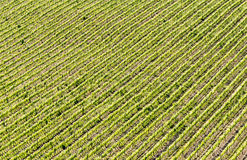 A scenic view of a field of vineyard. Of Chianti wine during spring in Tuscany royalty free stock image
