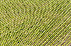 A scenic view of a field of vineyard during spring. A scenic view of a field of vineyard of Chianti wine during spring in Tuscany stock photo